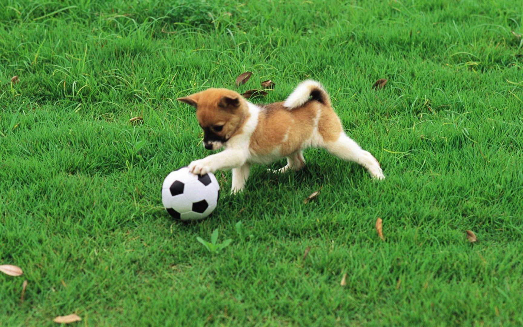 A dog playing with a football.
