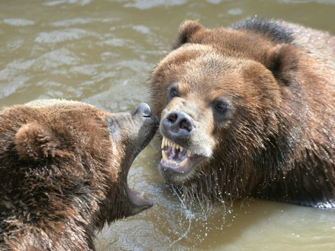 A grizzly bear gets involved in the action.