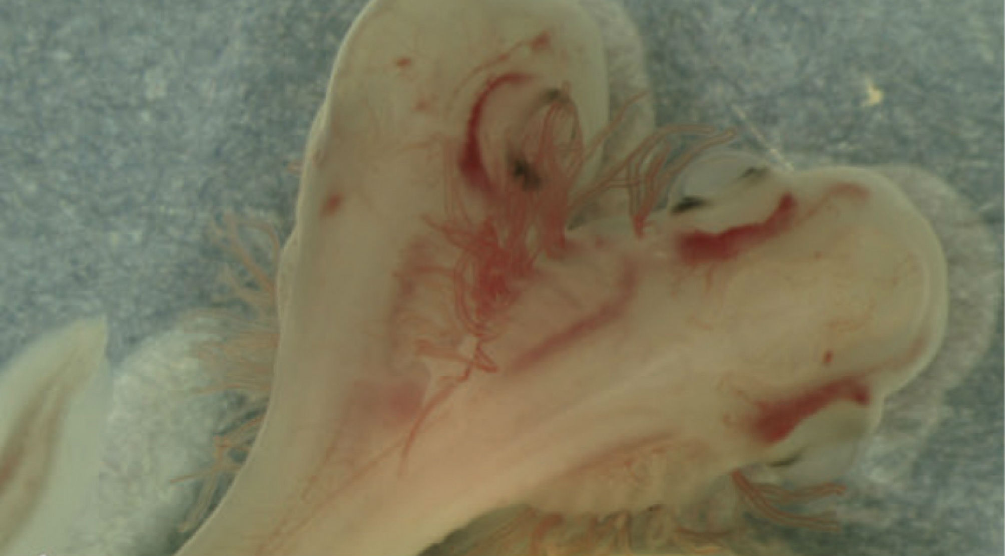 Two-headed shark embryo
