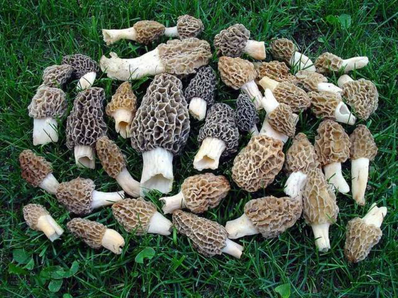 morels-by-boyne-city-chamber-of-commerce