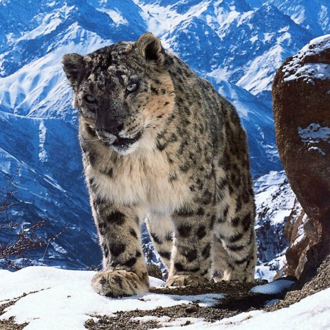 Planet Earth 2 snow leopard