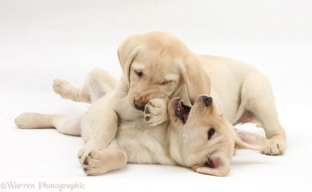 Yellow Labrador Retriever puppies, 9 weeks old, play-fighting