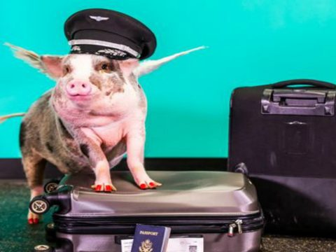 636165197708183854-1-lilou-the-pig-is-the-newest-member-of-sfo-s-wag-brigade