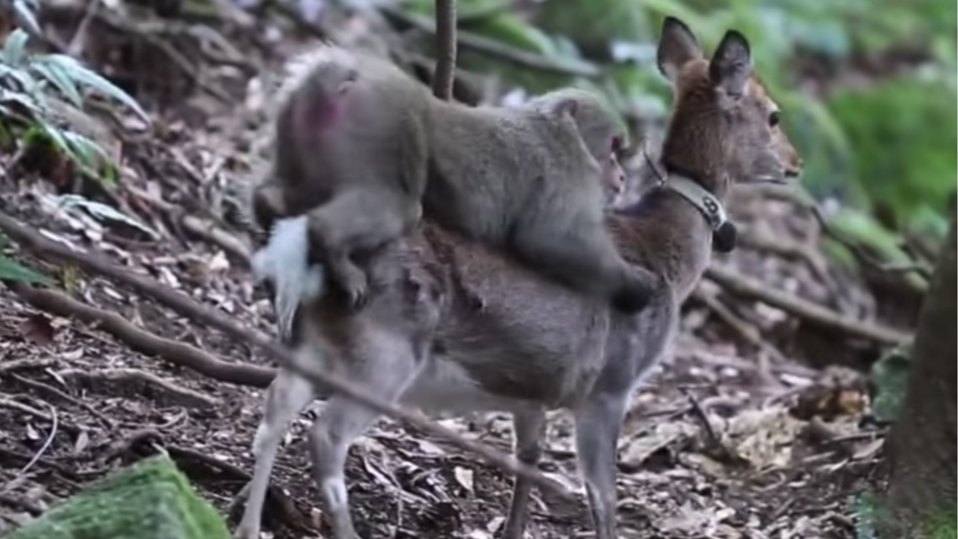 monkey and a deer