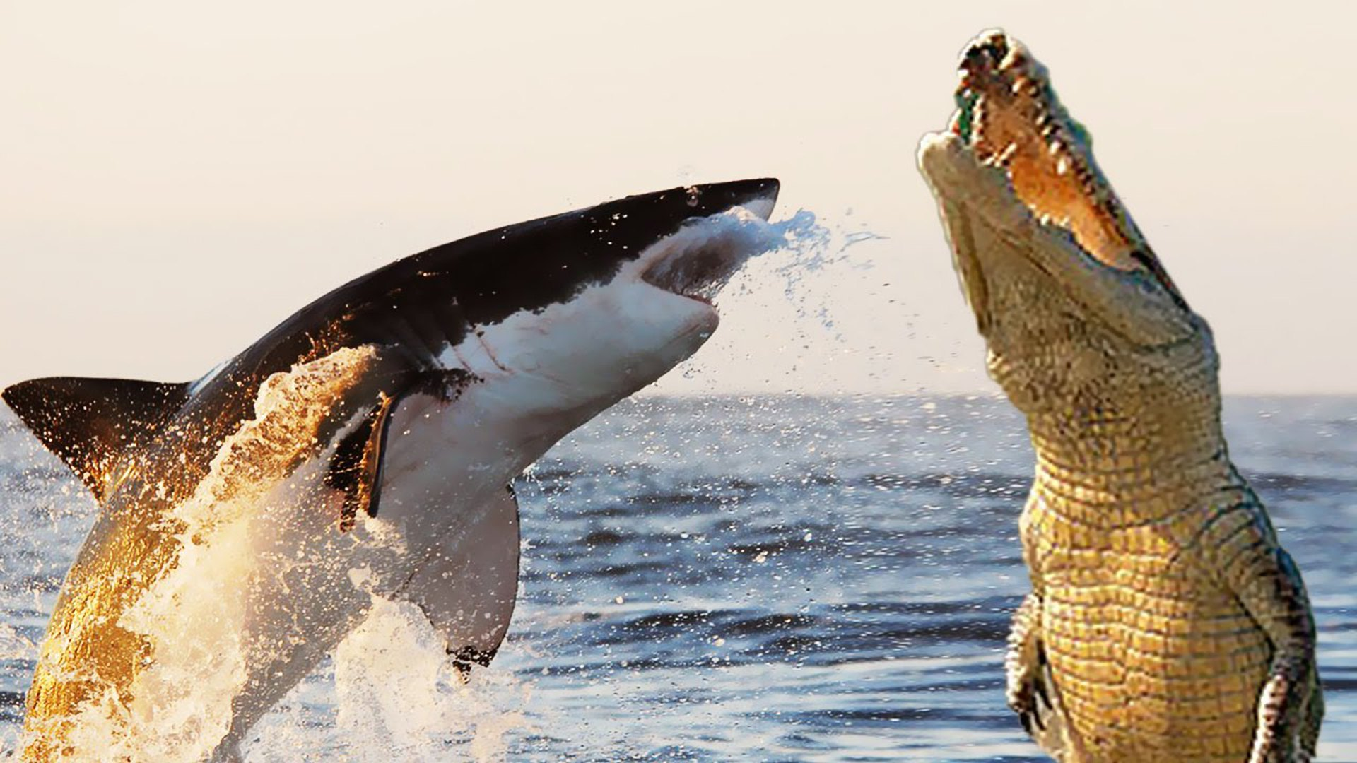 Shark vs crocodile.