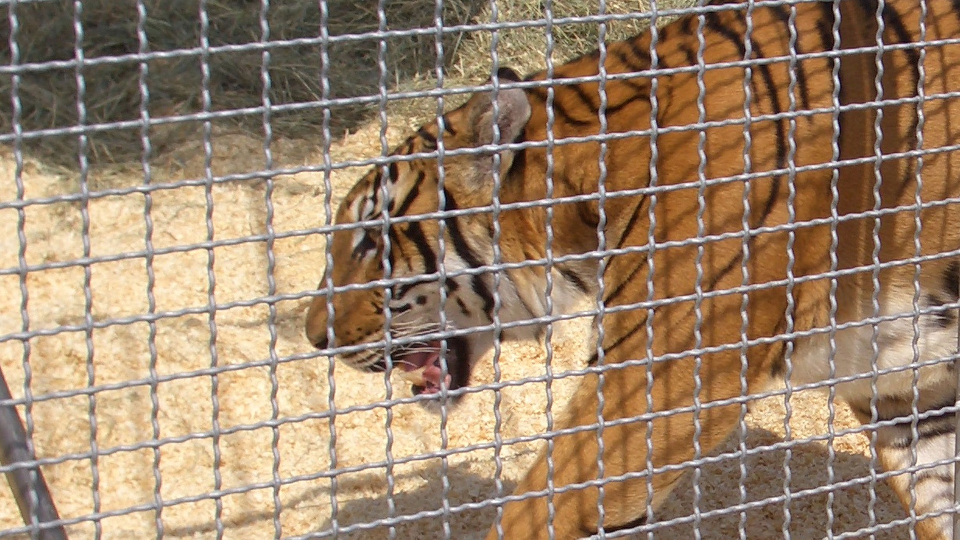 A tiger in captivity at the Circus.