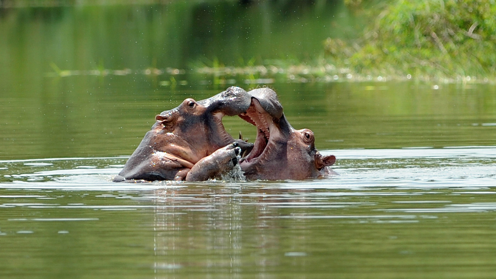 Hippos fighting in a pond