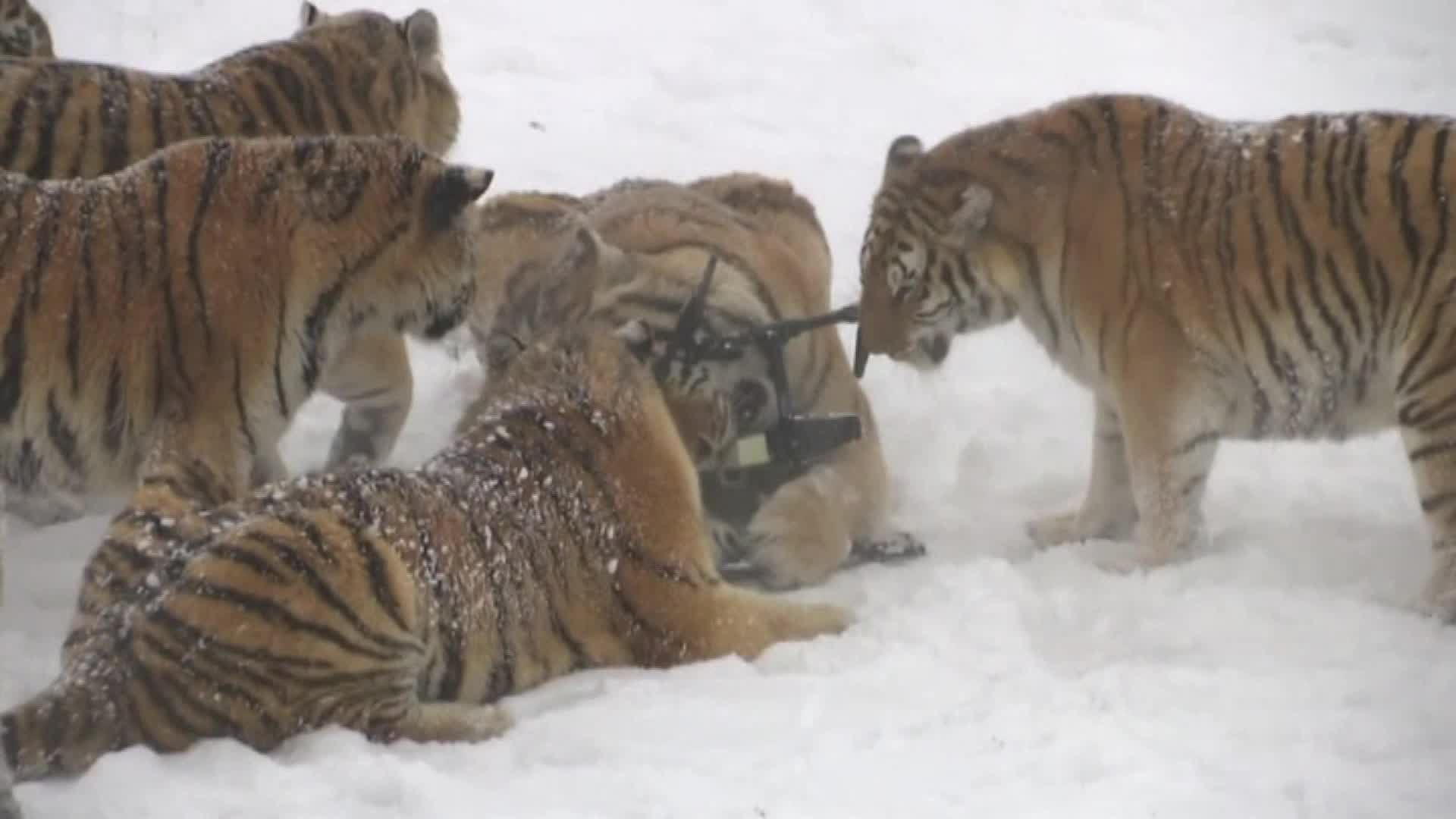 A group of tigers destroying a drone.
