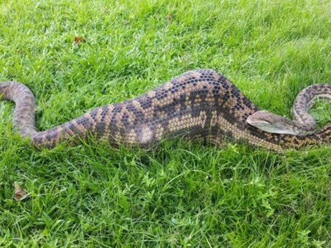 The python captured by Cairns Snake Removal.
