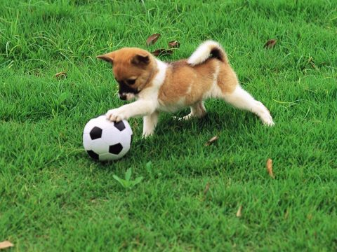 A dog playing football.