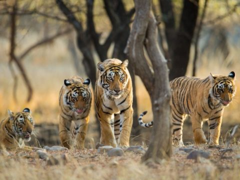 Tigers could become extinct within a decade.